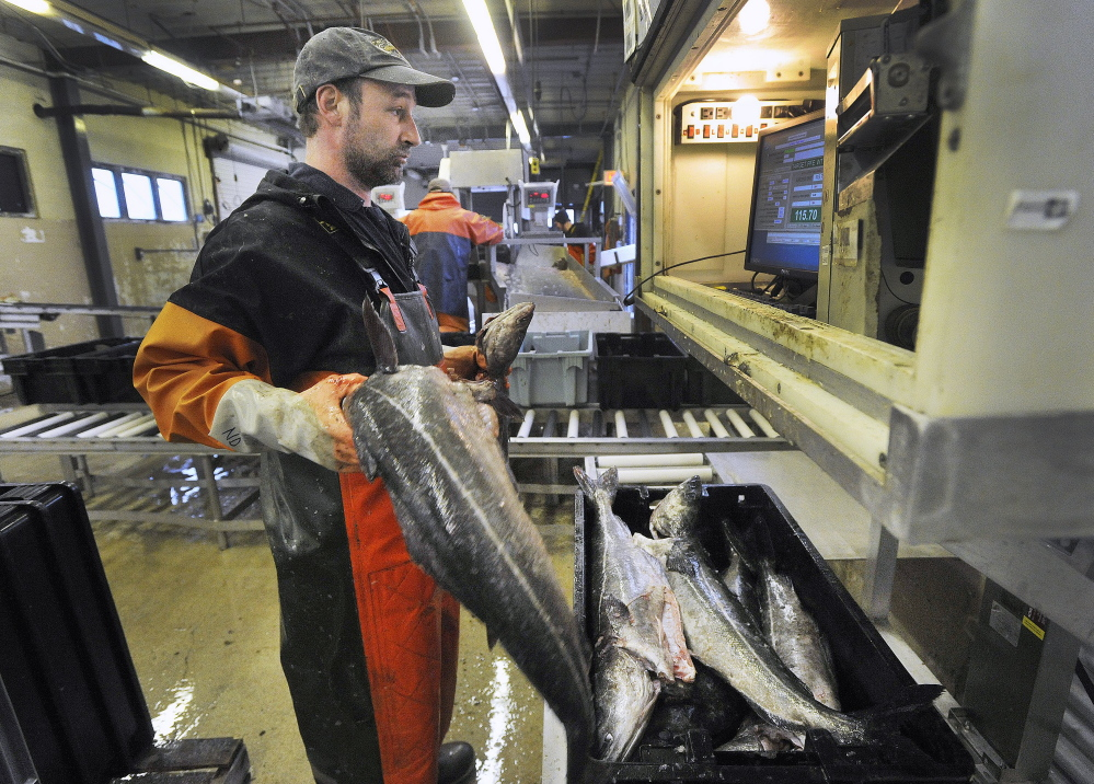 Nate Dunford, a fish sorter at the Portland Fish Exchange on Commercial Street, loads totes of cod in March. As of last year, the cumulative loss of Maine's cod totaled more than $250 million since its peak in 1991, according to Department of Marine Resources records.