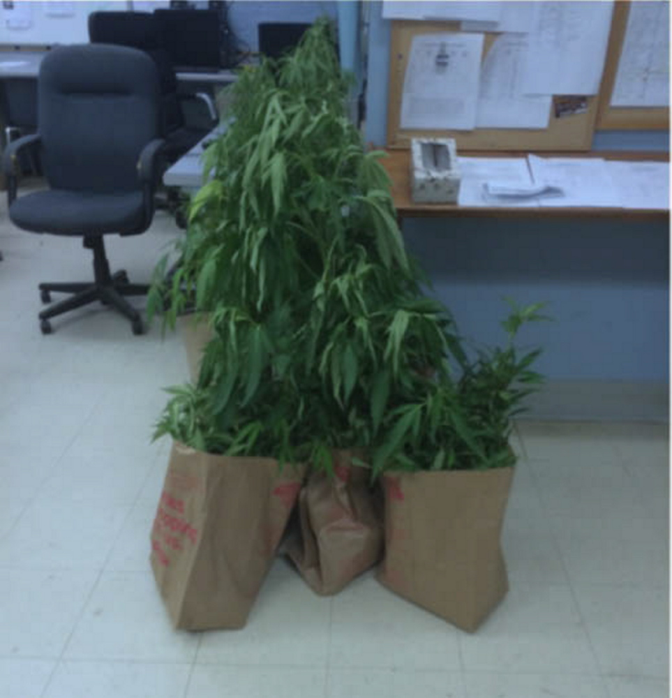 Marijuana plants seized from Dustin Beane, who was charged with growing pot, are seen at the Skowhegan Police Department.