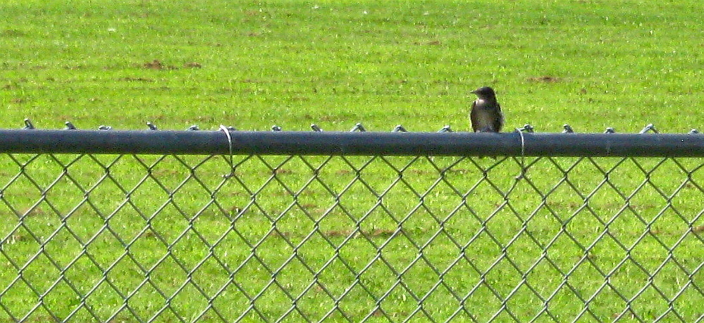A purple martin alone on the chain link fence at the Unity park in early August 2014.