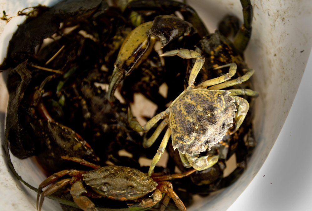 Green crabs lie in a bucket after being hauled in the Harraseeket River in Freeport.