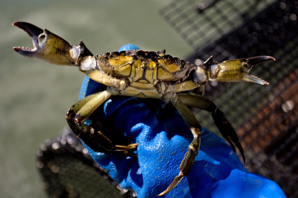 Commercial fishermen no longer need a special license to harvest and sell green crabs, and lobstermen can keep them as bycatch.