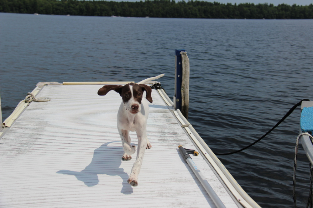 Photo by John Atkinson Gabby, a 10-year-old English Pointer, on a deck on Great Pond in Belgrade.