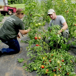 Farm intern Sabrina Brisson and owner Andy Marble prune tomatoes in one of the greenhouses at the Marble Family Farm in Farmington on Thursday.