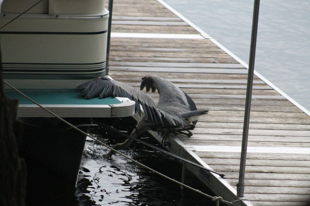 A Blue Heron catches a sunfish on a dock on Great Pond.
