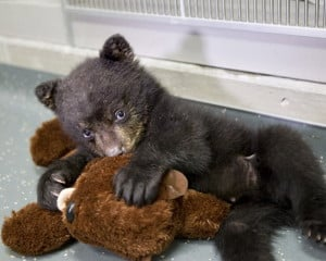 In this undated photo provided by the Oregon Zoo, a quarantined black bear cub plays with his stuffed otter toy at The Oregon Zoo in Portland. (AP Photo/Oregon Zoo, Carli Davidson)