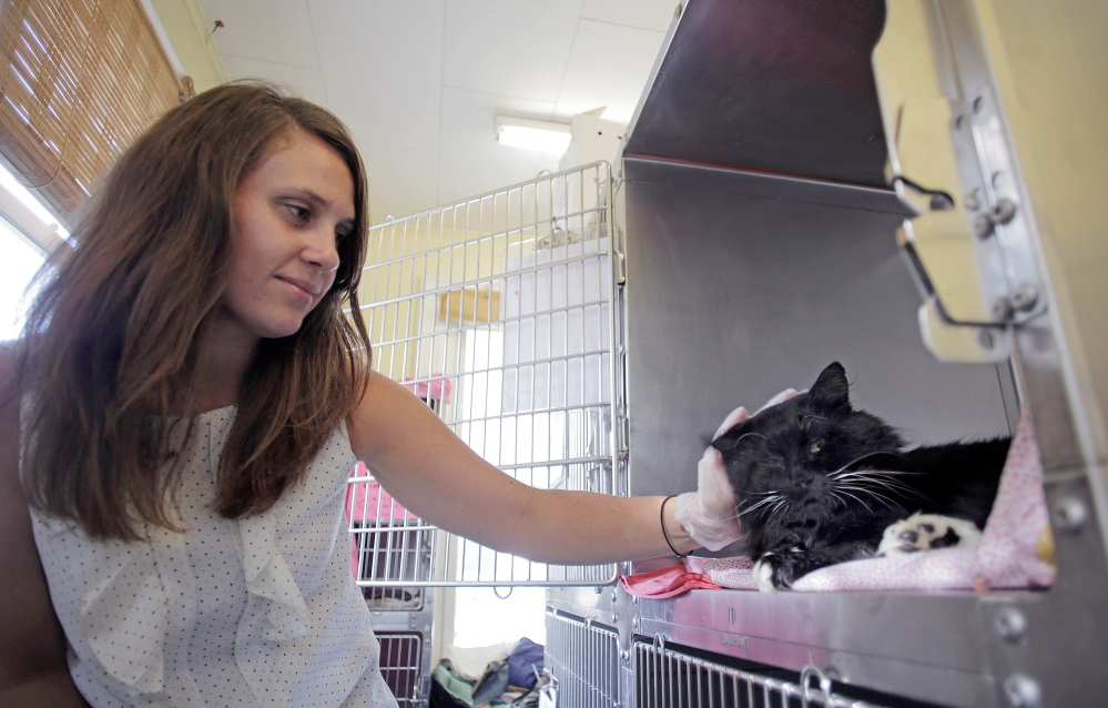 Jeana Roth cares for Clark, a cat shot by police who thought it was rabid, on Wednesday at the Animal Refuge League in Westbrook. Pellets from a 16-gauge shotgun used by a police officer shattered one bone in each of the cat's front legs. The cat was a longtime stray in Gorham, where a local resident, Deb Webb, fed him regularly over the years.