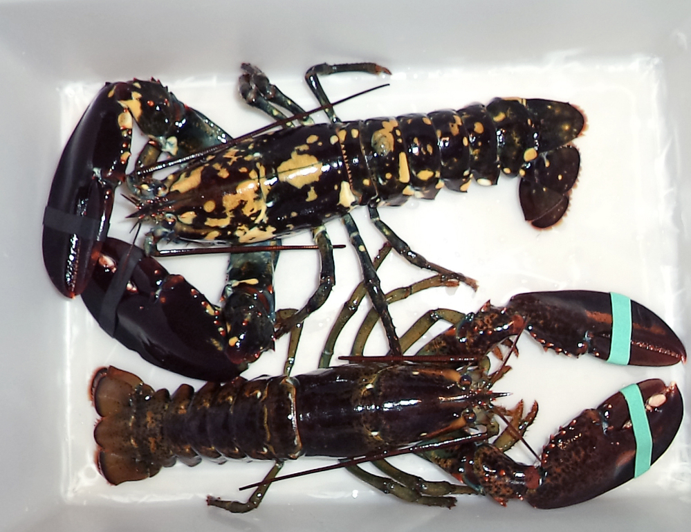 A calico lobster, top, sits alongside a normal lobster in a bin at Bethel Bait Tackle & More in Bethel.
