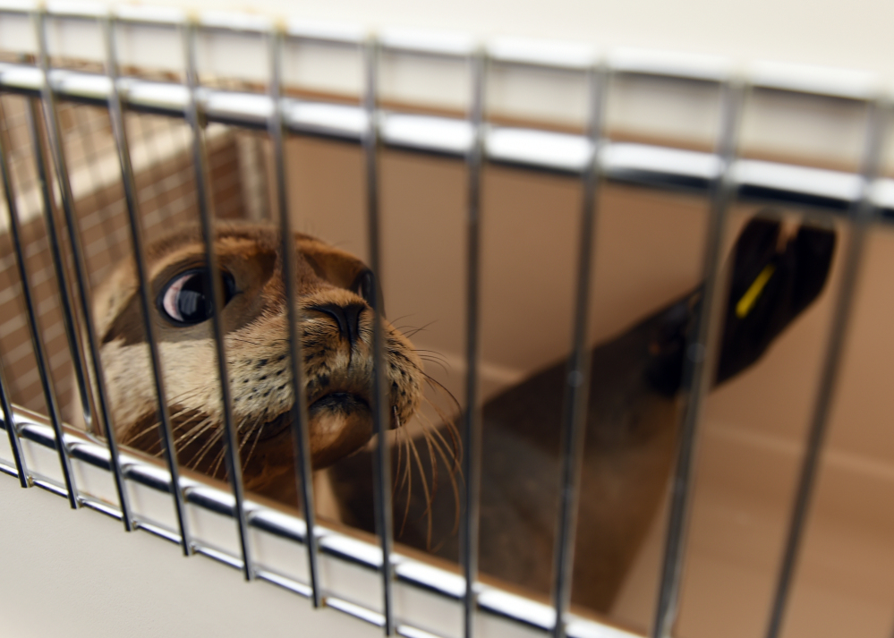 Bullwinkle, one of four harbor seal pups being released by the Mystic Aquarium's seal stranding team, peers out of her carrier prior to the release at Blue Shutters Beach in Charlestown, R.I., on Thursday.