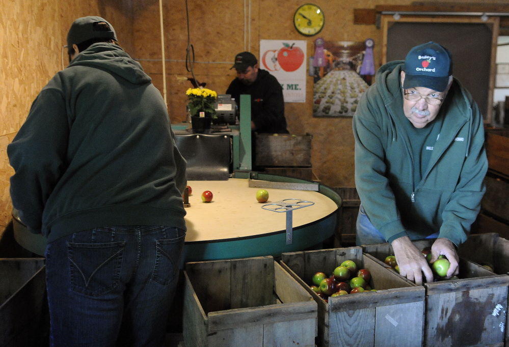 Rodney Bailey, right, sorts apples on Apple Sunday with his son, Mark, center, and daughter, Margo, at the family's Whitefield orchard.