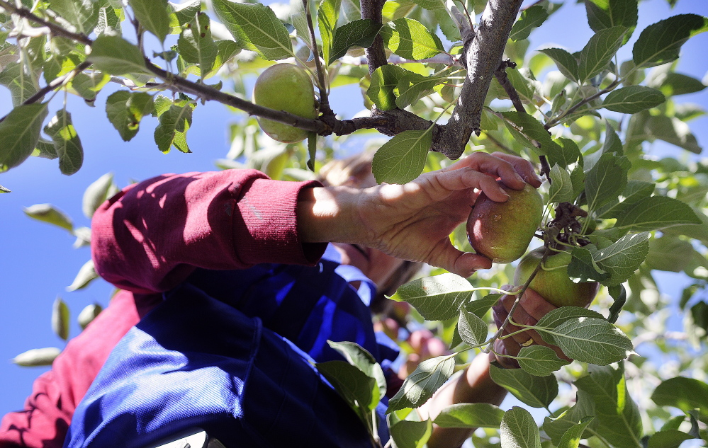 Carole Cifrino of Whitefield picks an apple on Apple Sunday at Bailey's Orchard in Whitefield.