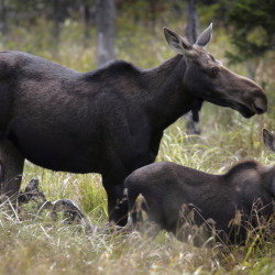 A moose graze in Franconia, N.H. Fewer moose are up for grabs during Maine's 2014 moose hunt because of the deadly impact of ticks the previous year.