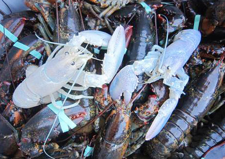The two albino lobsters being held at Owls Head Lobster Co. are ...