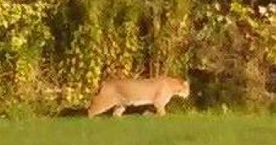 This photo taken by a Scarborough woman shows a large cat wandering through her backyard Sept. 26. Officials later concluded that the animal is a bobcat.