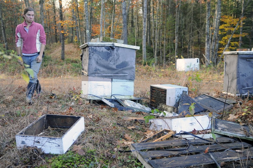 Stevenson Farm worker Alice Berry surveys the damage a black bear did to a beehive at the Wayne strawberry farm. Beekeeper Tony Bachelder said bears will keep returning to a colony of bees once they discover honey the insects are storing.
