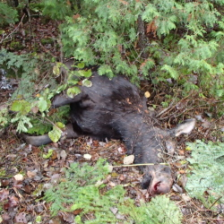 "Female moose that the Maine Warden Service says was illegally killed in northern Somerset County. A $2,500 reward has been offered for information leading to the ""arrest and/or prosecution"" of the person or persons responsible."