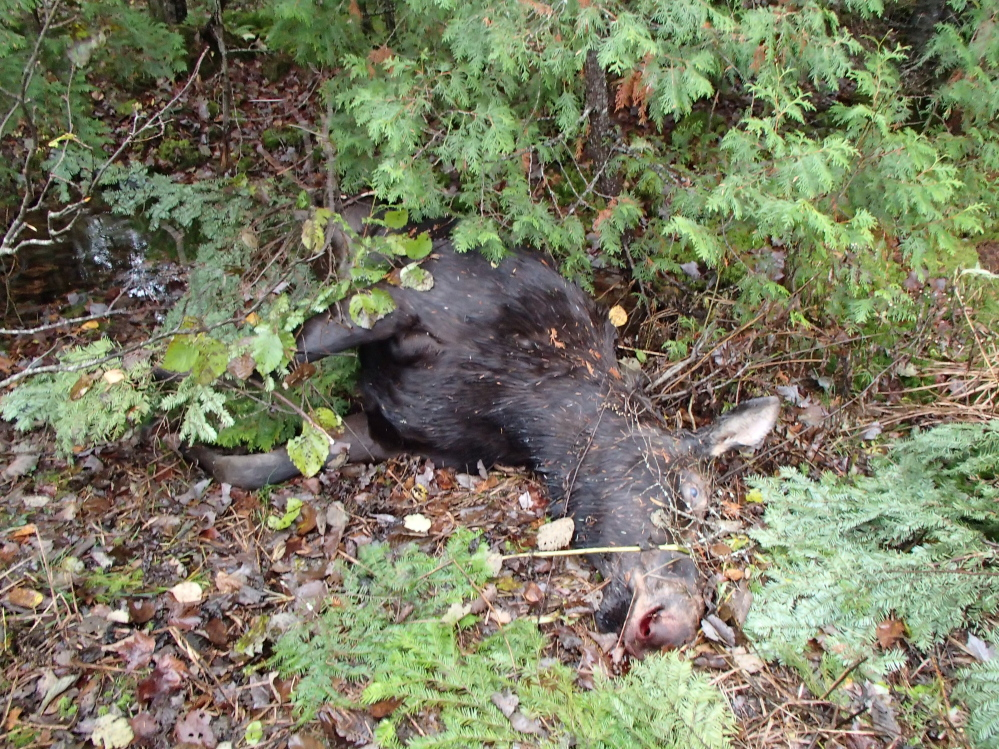 """Female moose that the Maine Warden Service says was illegally killed in northern Somerset County. A $2,500 reward has been offered for information leading to the """"arrest and/or prosecution"""" of the person or persons responsible."""
