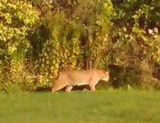 A Scarborough woman took a photograph of this animal wandering through her backyard on Sept. 26. Courtesy photo