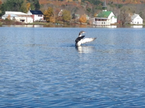 """Photo by Kathleen Farrin While kayaking on Minnehonk Lake in Mount Vernon a loon locals called """"Sleepy,"""" because he had a habit of swimming up to docks and napping in the sun, was caught stretching his wings after diving for food."""