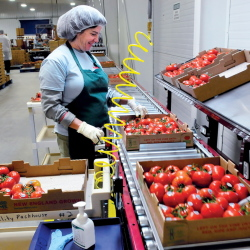 Backyard Farms employee Anne Delano packs tomatoes for shipping in Madison in January. Madison was certified a business friendly community by the state. Backyard Farms is one of many businesses in town that welcome the designation.