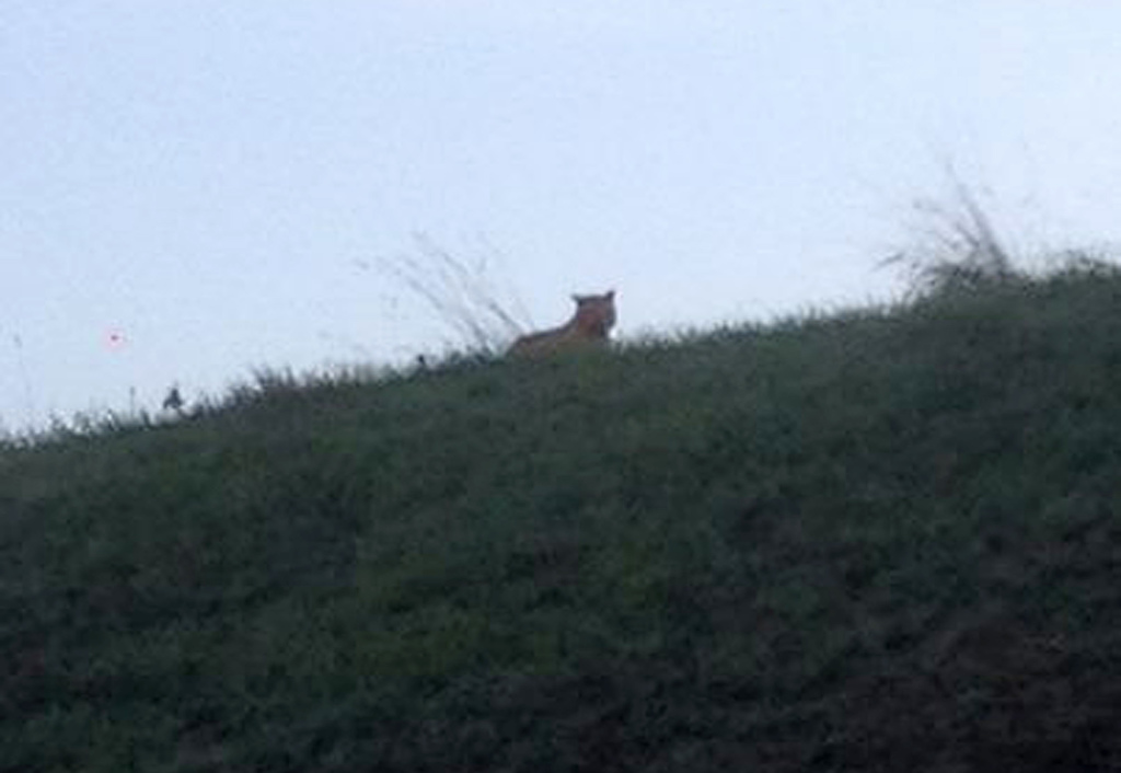 This photo provided by the town council of Montevrain shows what was thought to be a tiger. Residents in three towns have been asked to stay indoors.