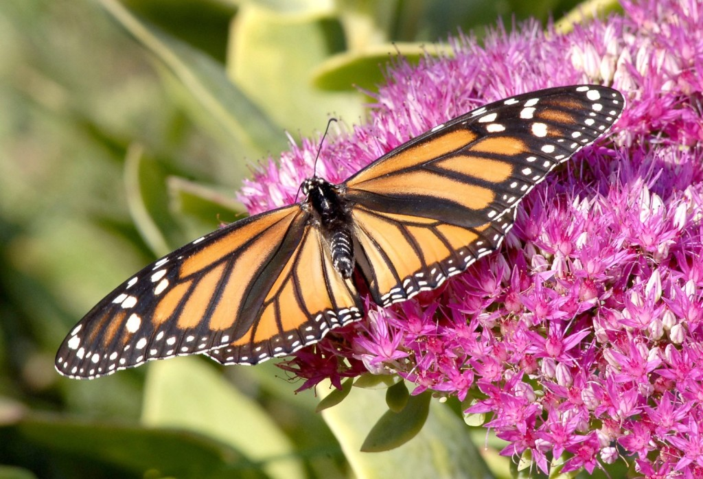 Monarch butterflies, like this one in a Gorham garden, have migrated to Mexico in healthy numbers this year. 2009 Press herald File Photo/John Patriquin