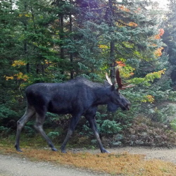 New England's autumn moose hunting tradition is attracting fewer prospective hunters as the animals' populations decline and sportsmen lose patience with the long odds of getting a coveted permit.