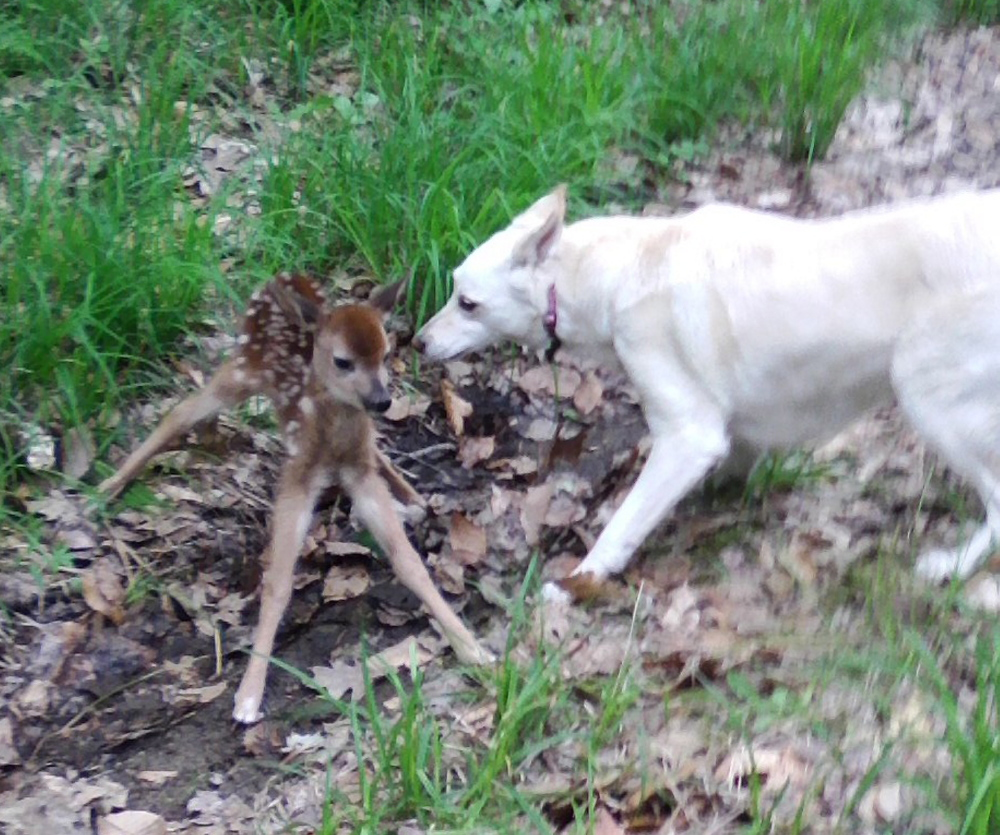 Photo by Denise Green   This little guy surprised a familiies dogs while they were walking around a trail in Wayne near their home. Sheba wanted a closer look. The group walked away peacefully and the fawn was gone the next day.
