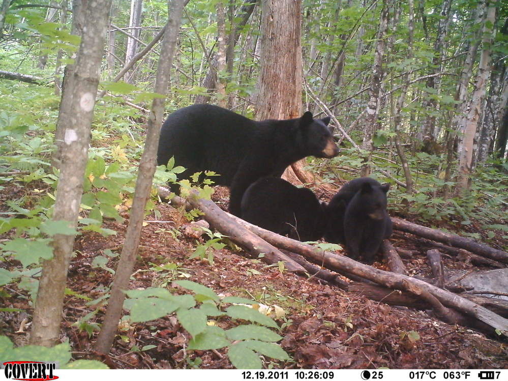 Photo contributed by David Kahl   A family of black bear are caught on a trail camera in North East Carry.