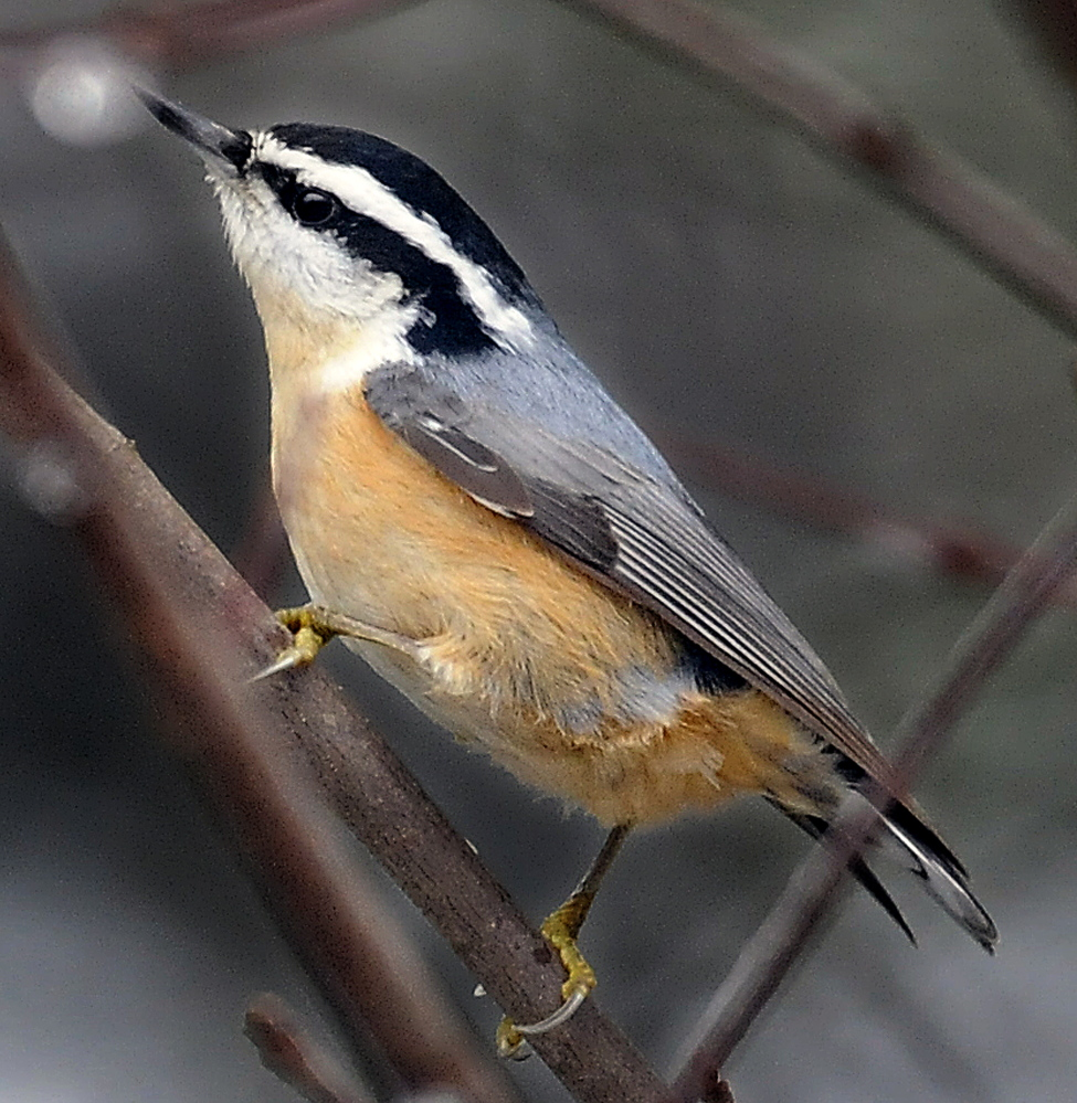 A red-breasted nuthatch perches on a limb in Farmingdale during the annual Christmas Bird Count on Sunday.