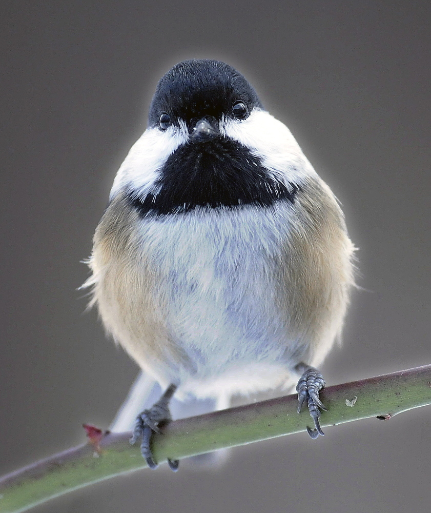 A black-capped chickadee perches Sunday on a limb in Farmingdale during the annual Christmas Bird Count on Sunday.