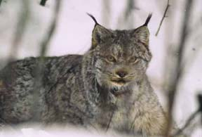Maine trappers are required to take additional measures to avoid trapping Canada lynx.