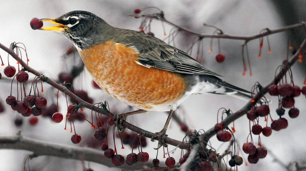 CAP.cutline_standalone:An American robin snags a berry Sunday while feeding with a flock in Hallowell. The wandering thrush is often a winter inhabitant of Maine and, along with waxwings, frequently feed on ripe berries in large groups.