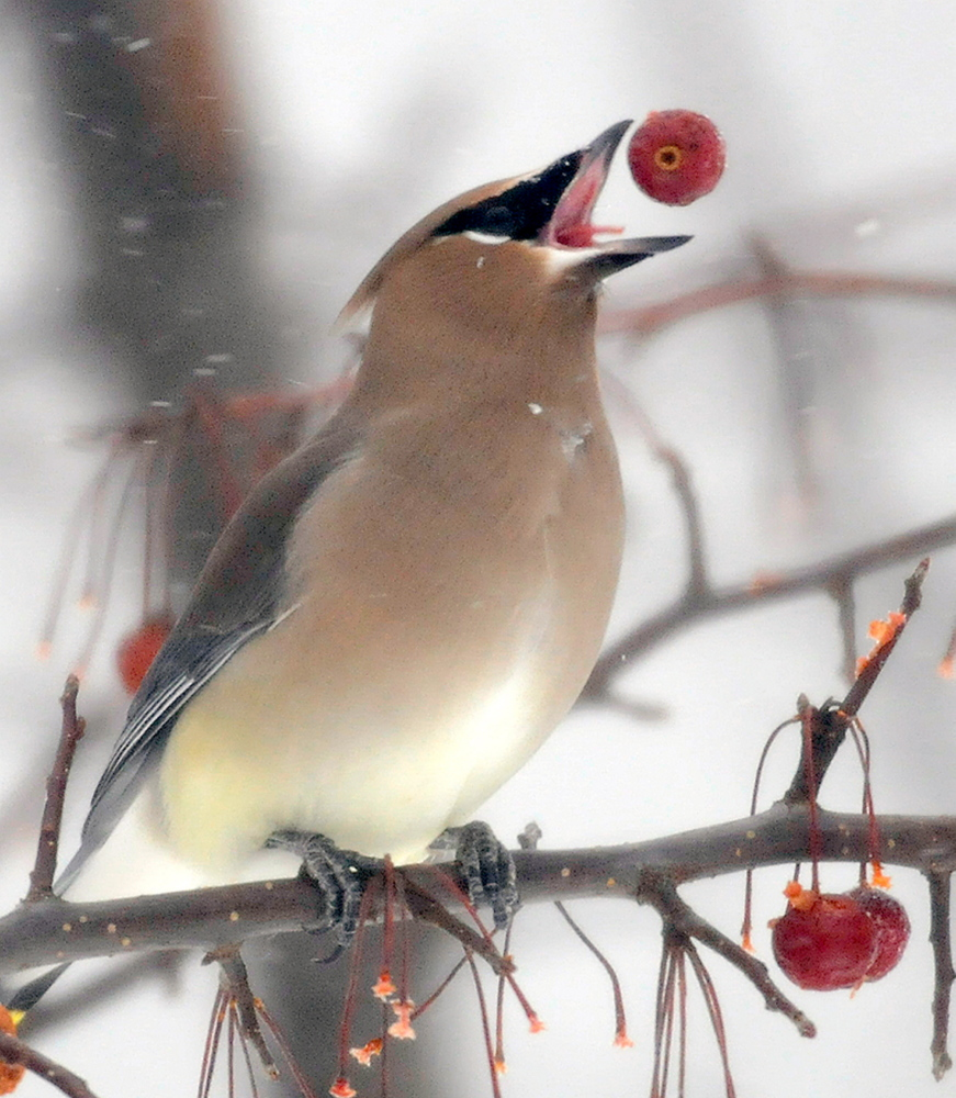 Staff photo by Andy Molloy   A cedar waxwing consumes a berry on a tree Tuesday at the Gardiner Common. Flocks of the birds descended upon fruit trees at the Common to eat during the storm.