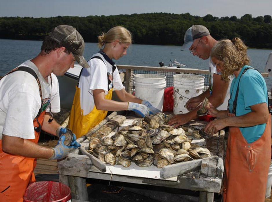 Workers sort oysters raised in the Damariscotta River by  Dodge Cove Marine Farms. Oysters are a distant second to salmon in the ranking of  species farmed in Maine. Courtesy of Sebastian Belle