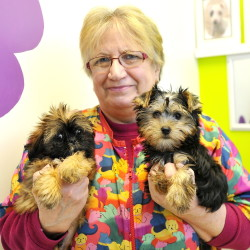 Shirley Thistlewood, manager at Pawz & Clawz Petz in Windham, holds two of the store's many puppies for sale, Charlie, a Yorkie, left, and Sammy, a Shih Tzu. The owner, Bryant Tracy, says he only sells animals from breeders and kennels licensed by the Department of Agriculture. Gordon Chibroski/Staff Photorapher