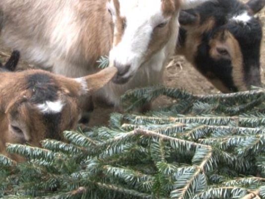 Goats munch on discarded Christmas trees at Westbrook's Smiling Hill Farm. Courtesy of WCSH6