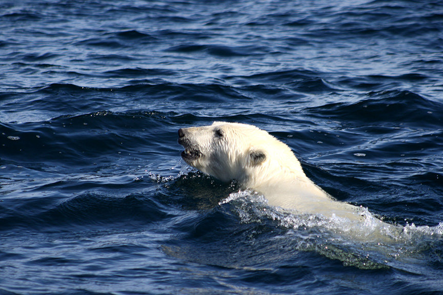 A polar bear swims across open water in the Arctic, which lost more of its ice sheet in 2014. Dark land and open water absorb more energy, keeping yet more heat on an already warming planet, according to the Arctic report card issued in December by NOAA.