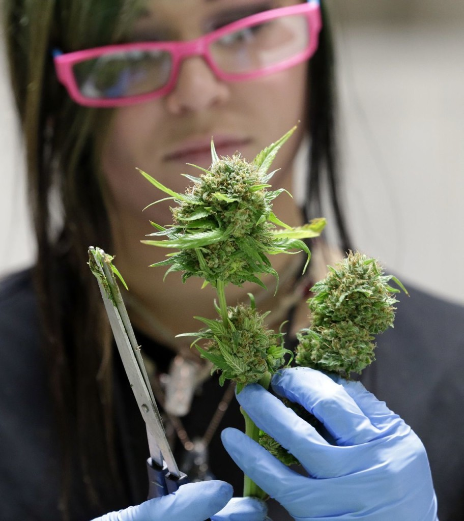 Ashley Green trims a marijuana flower at the Pioneer Nuggets marijuana growing facility in Arlington, Wash. The Associated Press