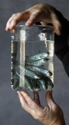 Six-month-old salmon parr are displayed at Cooke Aquaculture in Bingham. Salmon is the state's top farmed species, followed by oysters and mussels. File Photo/The Associated Press