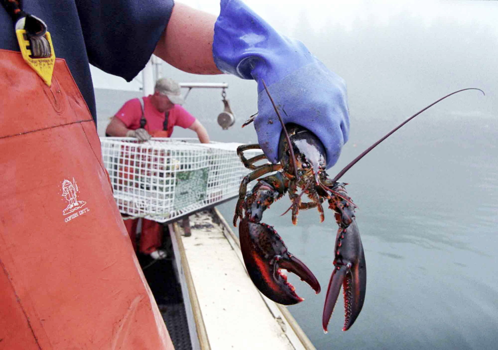 A sternman holds a lobster caught off South Bristol. Maine lobster fishermen landed lobsters with a record overall value in 2014.