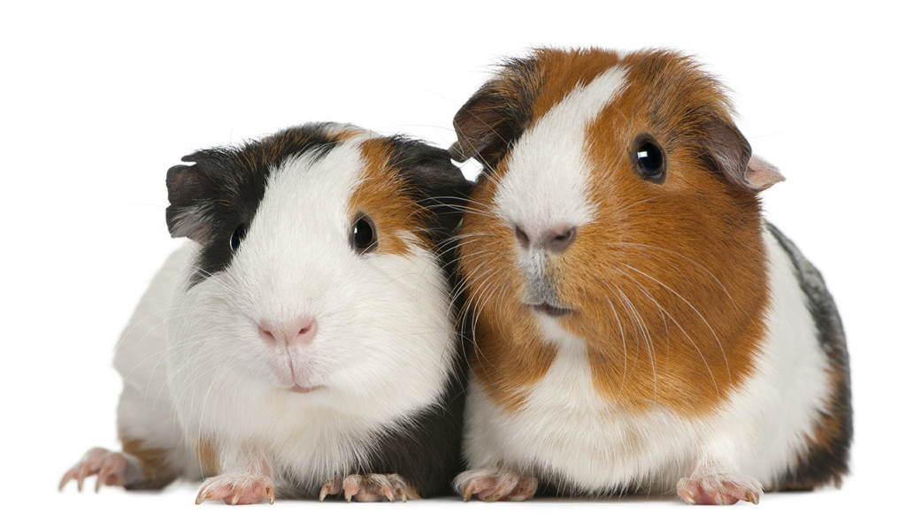 "Bobbi Adkins, director of shelter operations for Maine's Animal Welfare Program, says ""It would be nice if they can go to their new homes in pairs as they are social creatures and these particular guinea pigs are used to living in large groups."" Shutterstock image"