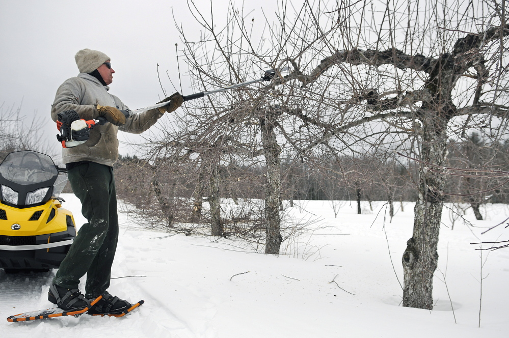 Tom Fair trims suckers on a McIntosh apple tree in a grove at Applewald farm in Litchfield on Thursday. The cold weather and heavy snow this winter may help yield a better crop during the harvest season. The family farm sells produce and fruit at its roadside farmstand.