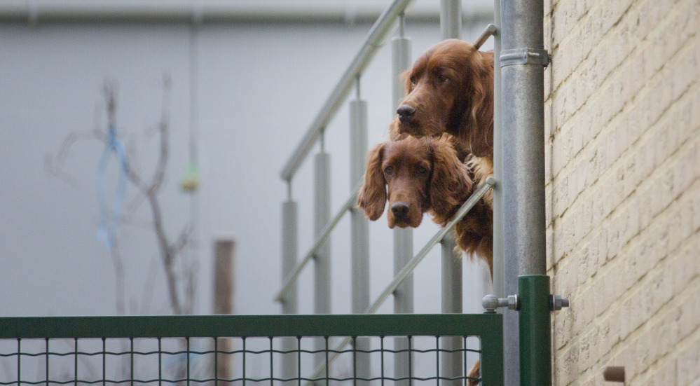 Two Irish Setters looks out from an enclosure in Lauw, Belgium on Monday.