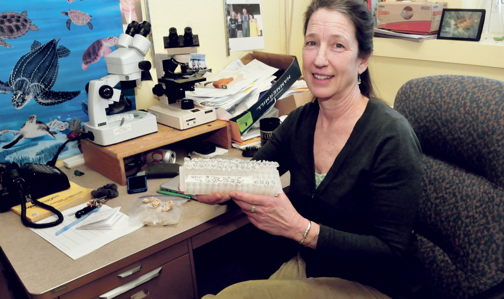 University of Maine at Farmington faculty member Nancy Prentiss holds a container with several species of worms on Wednesday in her office. While snorkeling on a research project off the island of St. John in the U.S. Virgin Islands, Prentiss found a previously undiscovered genus and species of marine worm.