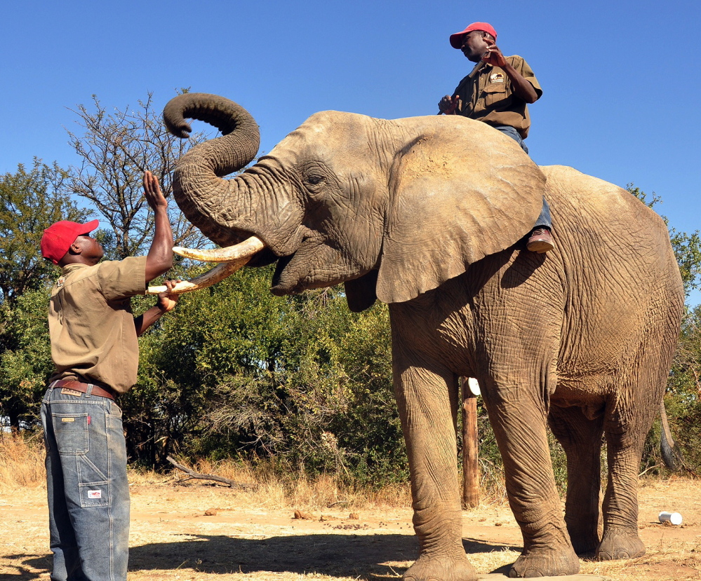 Chishuru the elphant is rewarded after completing a successful scent trial in Bela-Bela, north of Pretoria, South Africa.