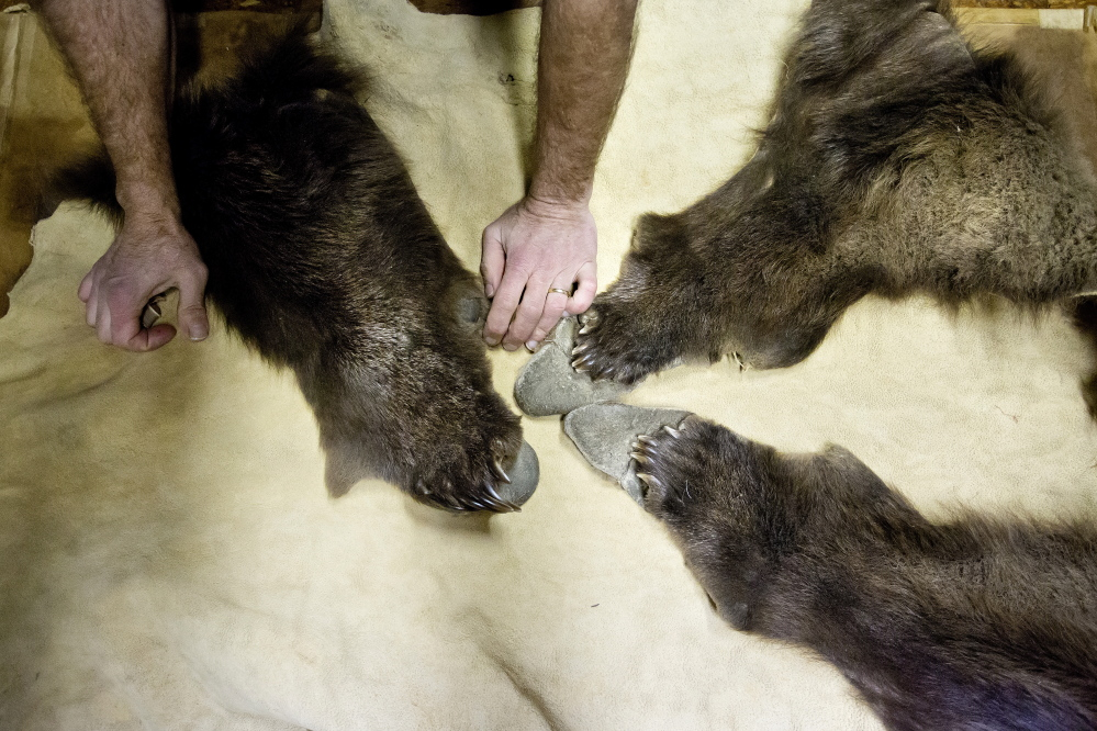McNally's hands rest next to the paws of a grizzly bear hide that he just tanned in his Oakfield shop. (Gabe Souze/Staff Photographer)