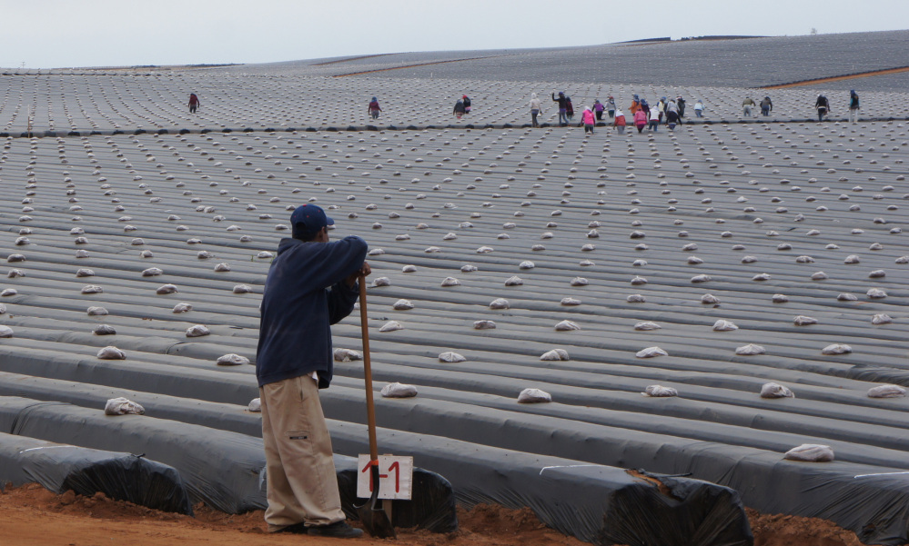 Laborers prepare a strawberry field for planting in the Valle de San Quintin, south of Tijuana in Baja California, Mexico. Workers from about 60 farms in the area are protesting to demand better conditions.