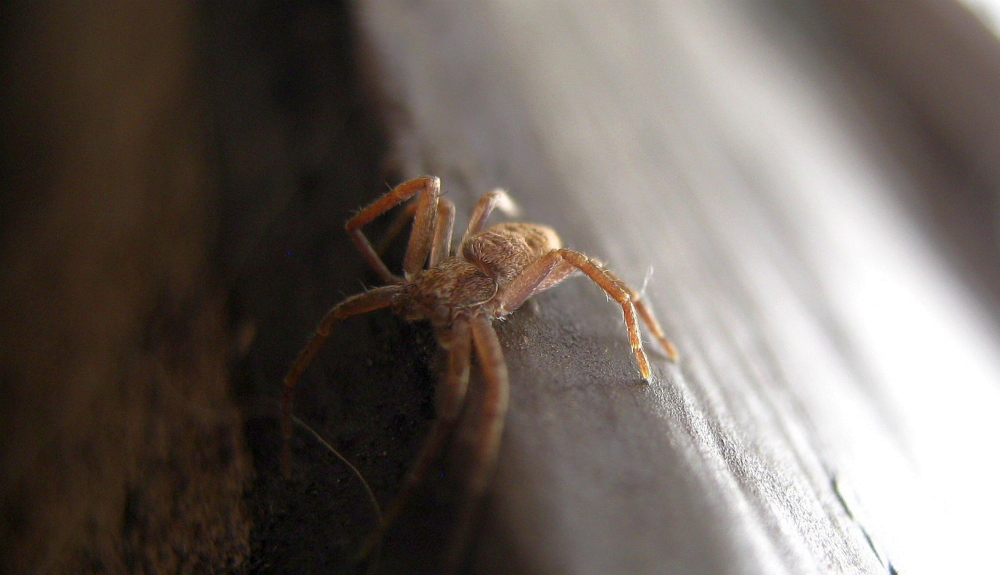 A running crab spider, who was probably active all winter, stretches out in the new March sunshine in Troy.