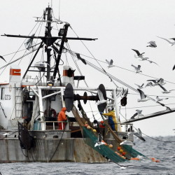 FILE- In this Friday, Jan. 6, 2012 photo, gulls follow a shrimp fishing boat as crewmen haul in their catch in the Gulf of Maine. The Gulf of Maine shrimp population has fallen to the lowest level on record, setting the stage for a possible shutdown of the fishery this coming winter. (AP Photo/Robert F. Bukaty, File)