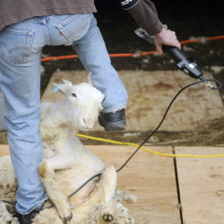 Carl Schwink, of Durham, climbs around a sheep during a sheep shearing class held in Washington on Sunday.